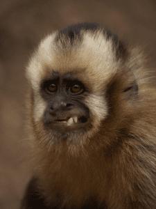 singe capuchin